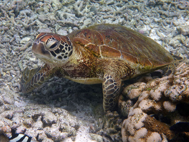 A friendly green turtle